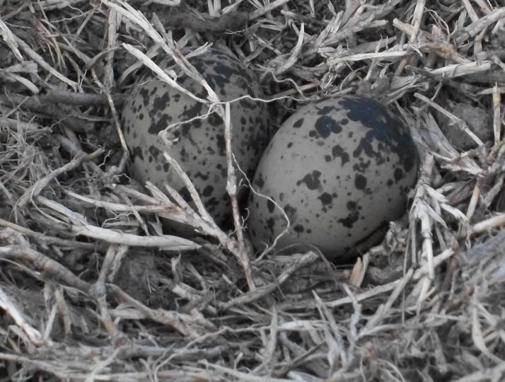 Huevos de Tero
